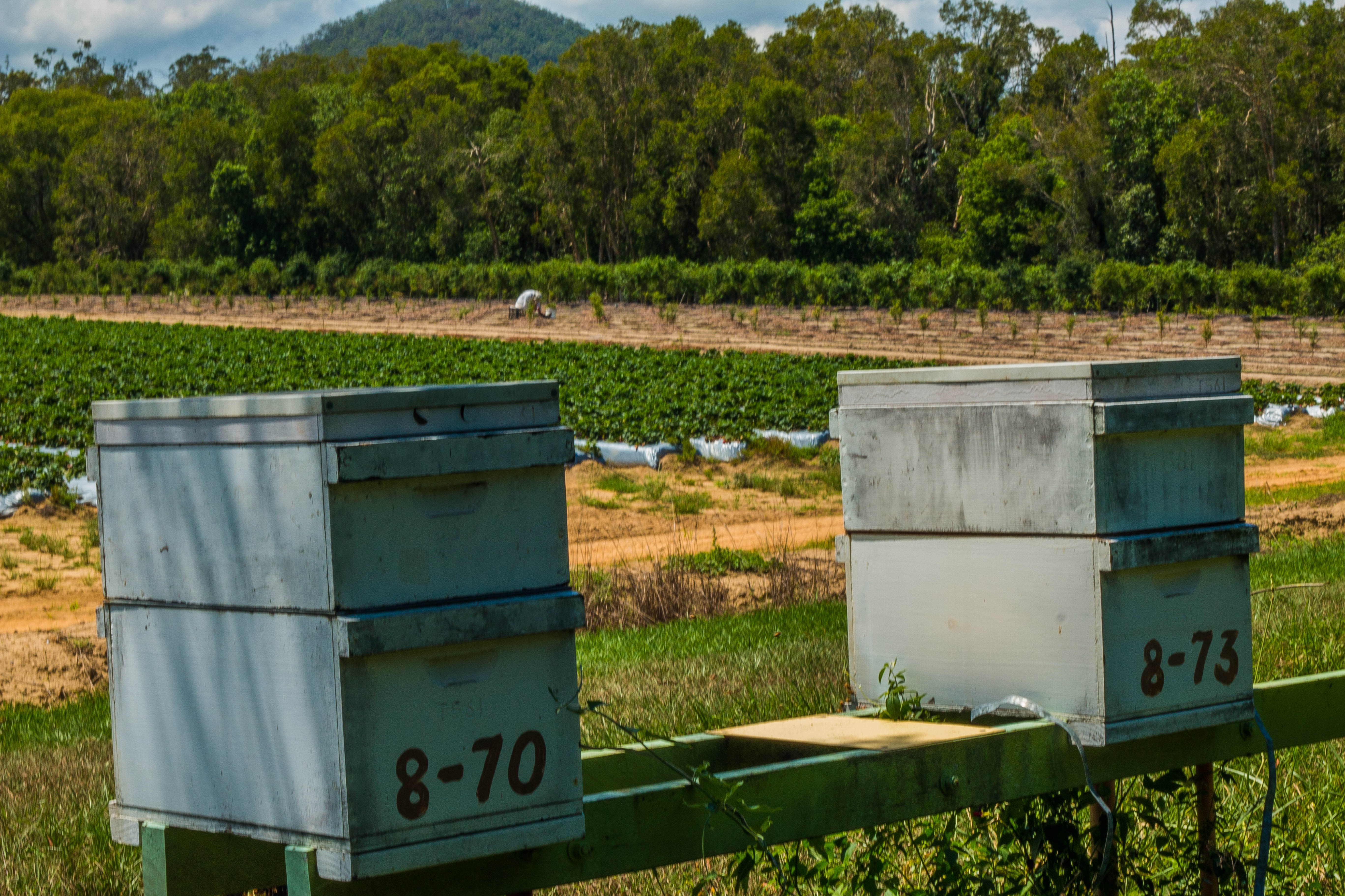 Finger lime orchard, bees and strawberries